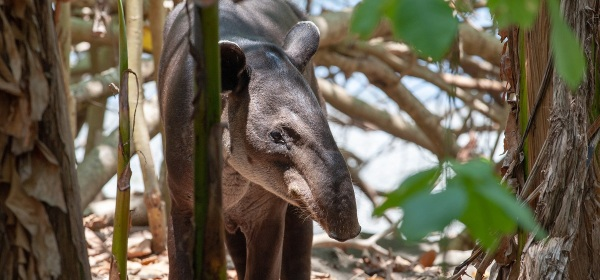 Baird's tapir in Costa Rica